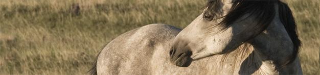 America's Endangered Wild Horses