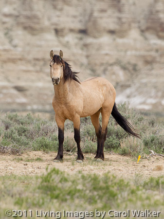 Wild Horses Wyoming S Wild Horse Herds Will Never Be The