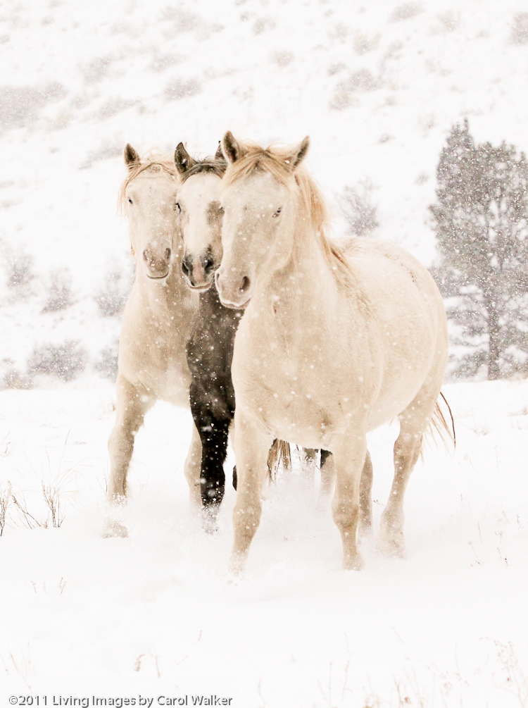 Wild Horses Mica And The Cremello Colts In The Snow
