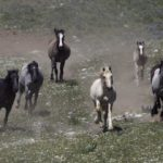 Wild Horses: Removals From Cloud's Pryor Mountain Herd Continue