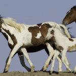 Wild Horses: Please Comment on McCullough Peaks Herd's Removal Plan