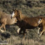 Wild Horses at Risk – Need Written Comments and Attendance at Meetings in Rock Springs