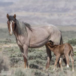 Wild Horses: Tell BLM to STOP Dangerous and Cruel Experiments on Our Wild Horses