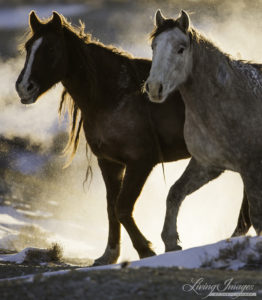 Two mares pause with frozen breath surrounding them