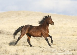 Bachelor stallion Running