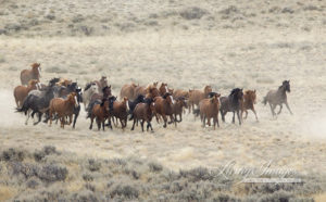 Roundup at Great Divide Basin in 2011