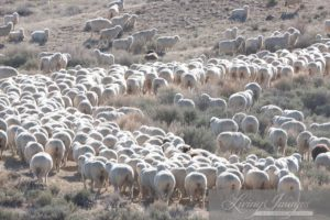 Hundreds of sheep