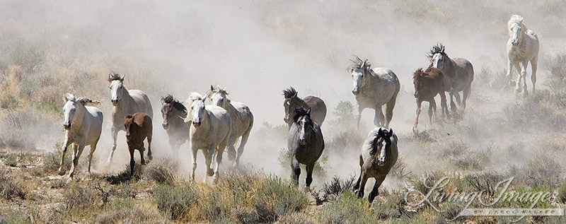Wild Horses in Adobe Town Running from the Helicopter