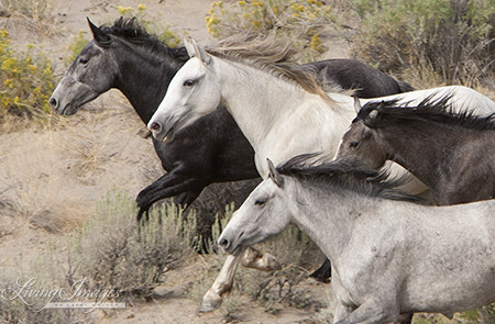 Four Grey Mares Run from the Helicopter in Adobe Town in 2010
