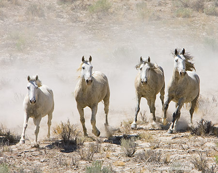 Four Grey Horses run from the Helicopter in the 2005 Adobe Town Roundup