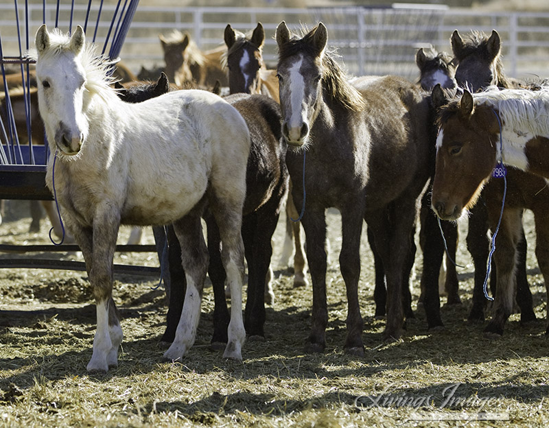 Mica with the other weanlings at Canon City after 2010 Roundup