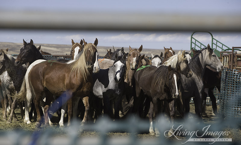 A temporary gap in the fence permits a brief glimpse of the mares rounded up two months ago in Salt Wells Creek