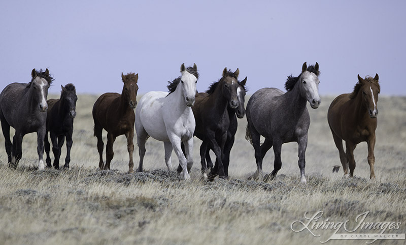 Family of wild horses in Adobe Town who have been rounded up and removed in October 2014