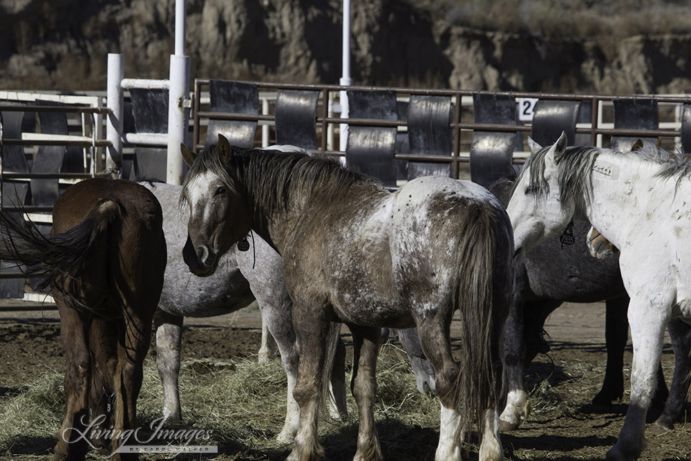 Bronze Warrior with other older stallions at Canon City