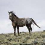 Wild Horses: A New Beginning for Older Wild Horses from Adobe Town
