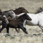 Wild Horses: Court Grants Wild Horse Advocates Right to Intervene in State of Wyoming Anti-Mustang Lawsuit