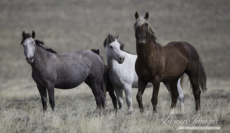 The beautiful sorrel stallion and his family. I looked for him in Canon City but did not find him - most likely he is in Rock Springs.