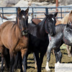 Wild Horses: Checkerboard Roundup Wild Horses Now Available at Rock Springs