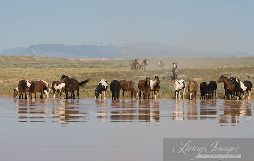 An amazing site, all these wild horses drinking together, and Tecumseh is in the middle
