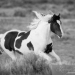 Wild Horses: Portrait of the Wild Stallion Tecumseh from McCullough Peaks