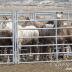 Wild Horses: Finding the Adobe Town Family Members at the Rock Springs Corrals