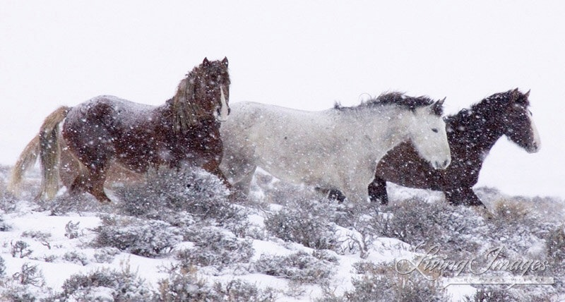 Wild Horses in winter  in Adobe Town