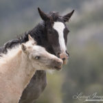 Wild Horses: Take Action to Keep Young Horses from Cloud's Herd on the Range