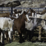 Breaking News: BLM's Wild Horse Advisory Board Just Voted To Kill All 44,000 Captive Wild Horses In Holding