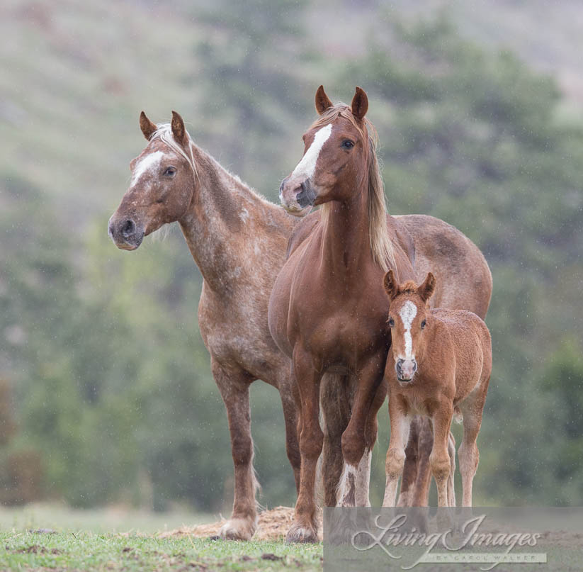 Gwendolyn, Sabrina and filly outside the corral