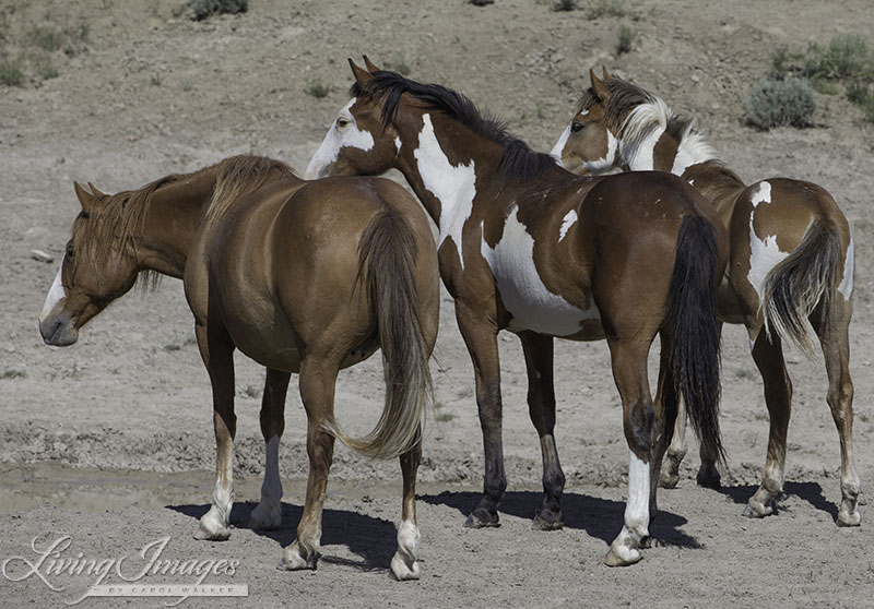 Sand Wash Basin is home to one of the most colorful wild horse herds