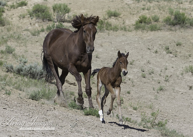 A young foal runs for the sheer joy of being alive