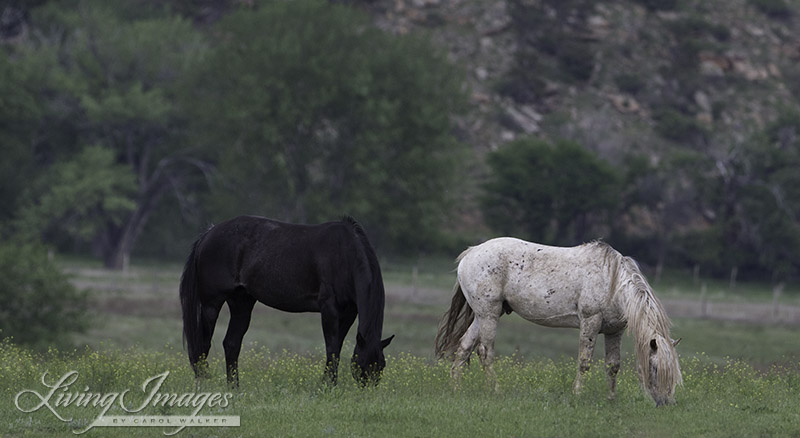 Snowfall finally grazing peacefully with the black mare