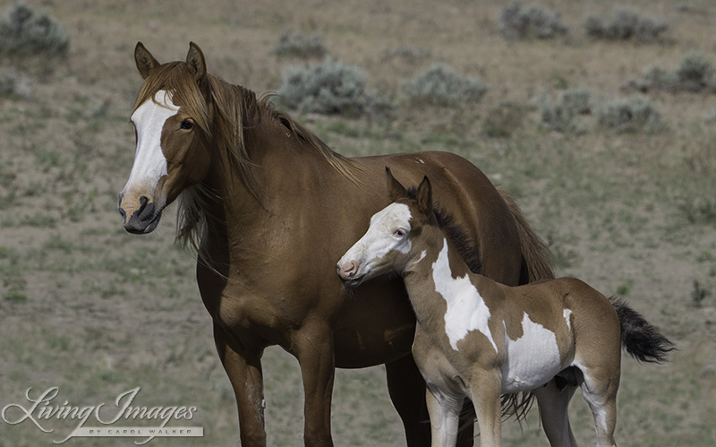 Wild Mare and Foal in Sand Wash Basin, Colorado
