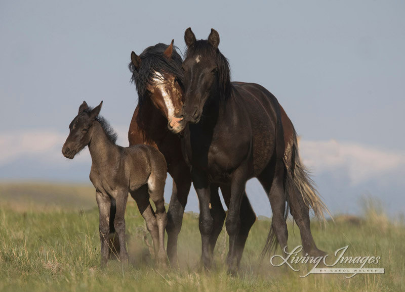 A wild horse family in McCullough Peaks