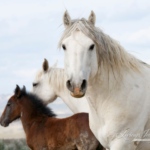Wild Horses: Tell the BLM to STOP Sterilization Studies on Our Wild Horses