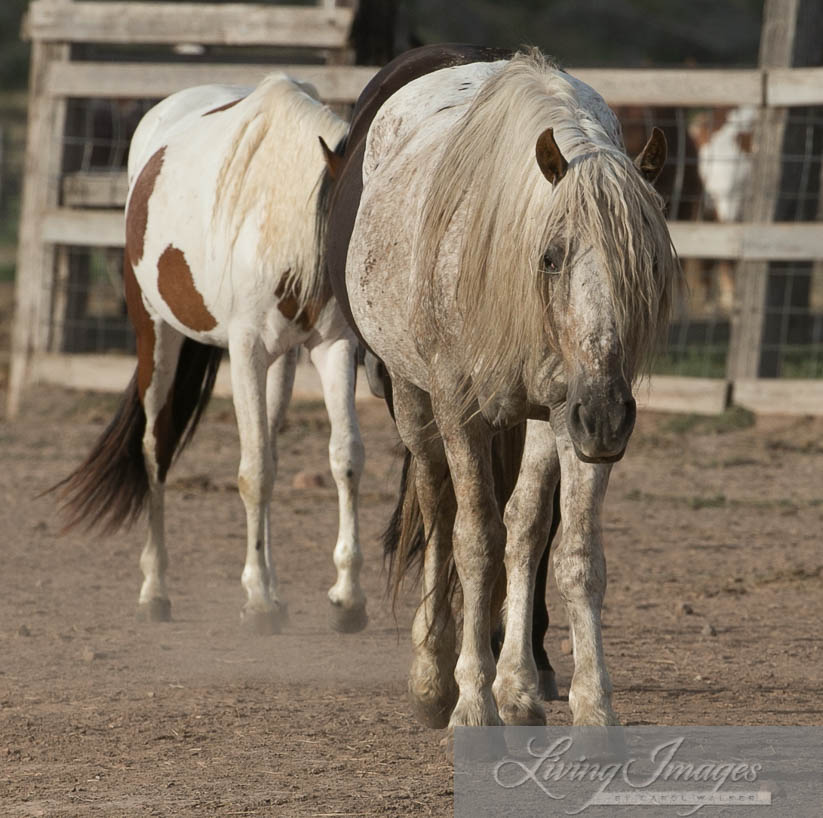 Snowfall leading the mares