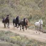 Wild Horses: Court Gives BLM Green Light to Destroy West Douglas Herd