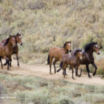 Wild Horses: Lawsuit filed to Stop Annihilation of Colorado's Historic West Douglas Herd