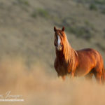 An Evening with Carol Walker on Adobe Town's Wild Horses at University of Denver