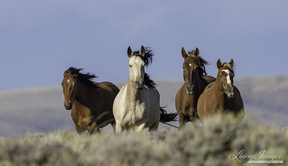 blms wild horse management essay Track-a-wild-horse through this program a good way to come to know and keep on eye on individual herd members federal and state land managers, adoption program managers, wild horse conservation organizations, and even individual horse owners can use whims.