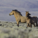 Wild Horses Action Alert: Speak Out to Stop BLM's Plan to Spay Wild Mares in Wyoming