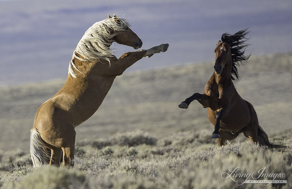 Two stallions face off