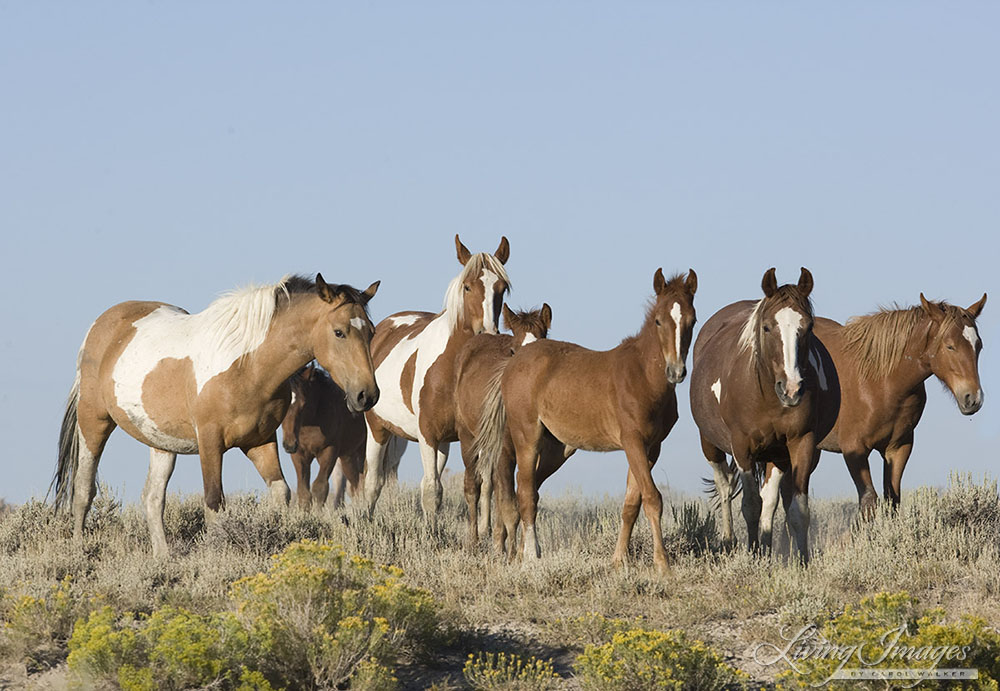 wild horses, mustangs in White Mountain, WY - band with many paints moves down hill