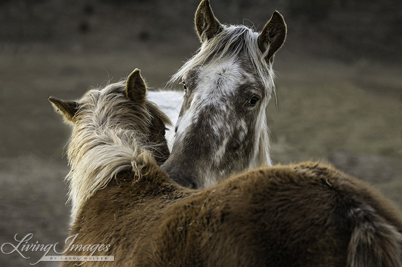 Flurry and Sabrina's filly doing mutual grooming