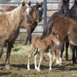 Second Action Alert: Please Keep Writing  – Stop Barbaric Sterilization Research on Our Pregnant Wild Horses