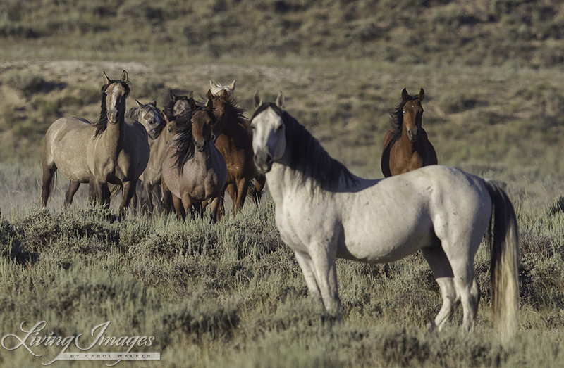Wild stallion standing protectively in front of his family in Adobe Town