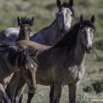 Wild Horses: Stop the BLM's Illegal Plans for the Checkerboard Roundup II  – Comment by Friday April 22