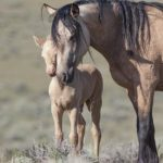 Save Our Wild Horses: Stop Sterilization