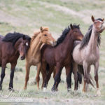 Adobe Town Wild Horses in Wyoming Under Siege Again – Please Comment by May 6