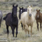 Action Alert: Please Tell Appropriations Committee Members to Maintain Federal Protection for Our Wild Horses